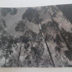 Fotografía antigua: COPAS ARBOLEDA TOMADA POR INGENIERO FORESTAL MADRID FOTOGRAFIA AÑOS 50. Lote 135605350