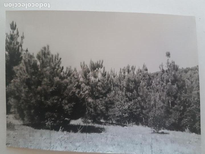 BOSQUE PINOS TOMADA POR INGENIEROS FORESTALES CERCEDILLA MADRID FOTOGRAFIA AÑOS 50 (Fotografía Antigua - Gelatinobromuro)
