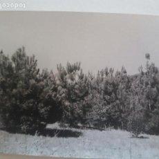 Fotografía antigua: BOSQUE PINOS TOMADA POR INGENIEROS FORESTALES CERCEDILLA MADRID FOTOGRAFIA AÑOS 50. Lote 135606322