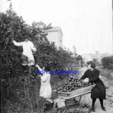 Fotografía antigua: RECOLECTA DE NARANJAS - ALREDEDORES LUXENTE, FONTANARS AFORINS. CRISTAL NEGATIVO - C.1900. Lote 140592486