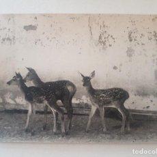 Fotografía antigua: GRUPO DE CIERVOS FOTOGRAFIA. Lote 191393366