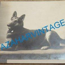 Fotografía antigua: 1913,ESPECTACULAR POSTAL FOTOGRAFICA DE UN PASTOR ALEMAN, MUY RARA. Lote 139610870