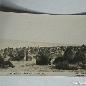Lobos Marinos Territorio de Santa Cruz KOHLMANN