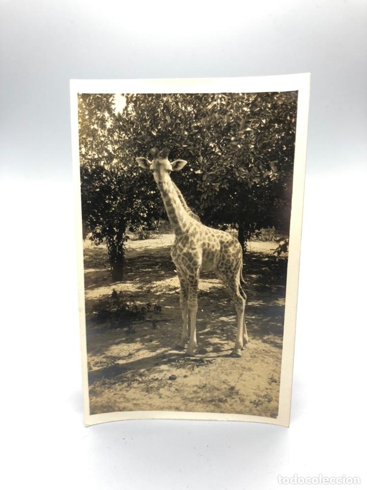 Fotografía antigua: Lote de 108 antiguas fotografías Africa cazadores de animales africanos ,elefantes,marfil... - Foto 14 - 247280240