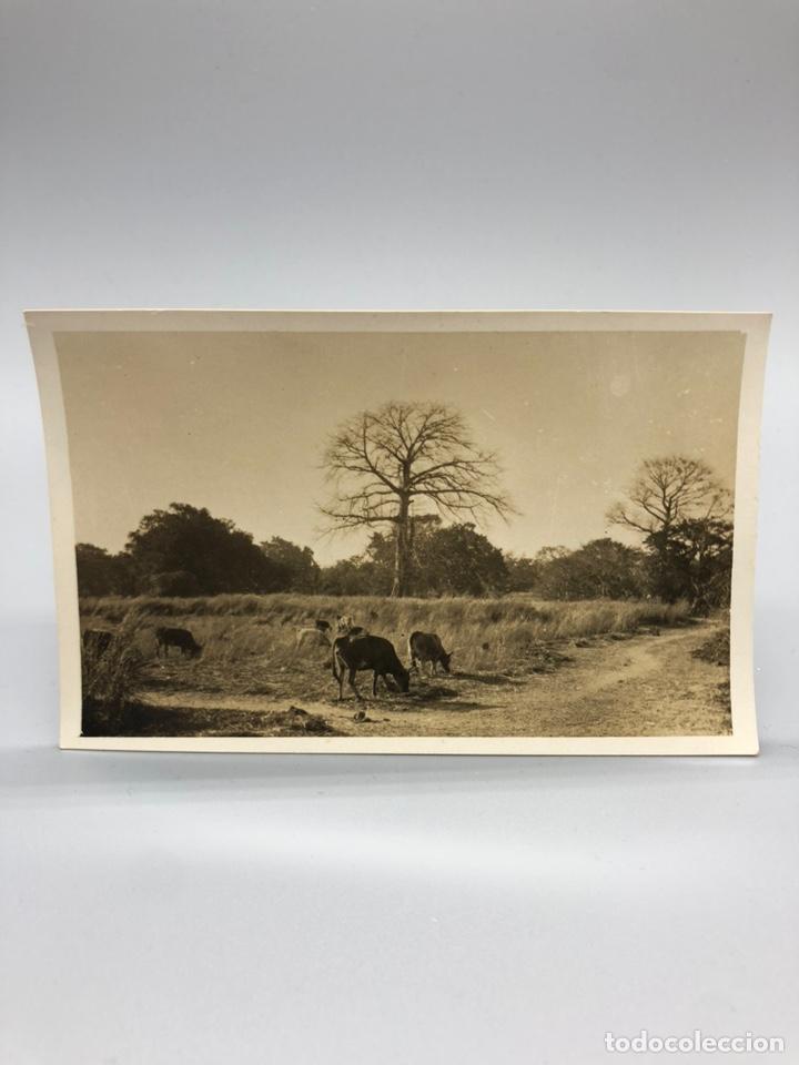 Fotografía antigua: Lote de 108 antiguas fotografías Africa cazadores de animales africanos ,elefantes,marfil... - Foto 36 - 247280240