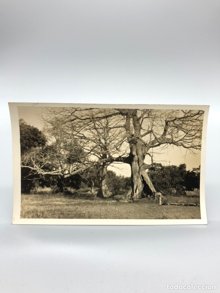 Fotografía antigua: Lote de 108 antiguas fotografías Africa cazadores de animales africanos ,elefantes,marfil... - Foto 43 - 247280240