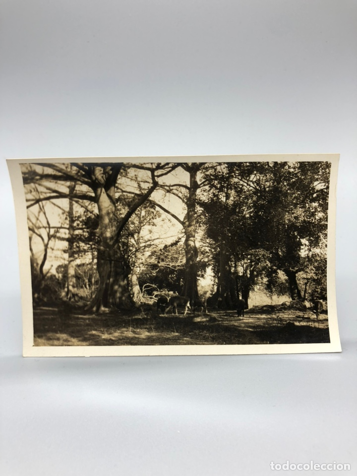 Fotografía antigua: Lote de 108 antiguas fotografías Africa cazadores de animales africanos ,elefantes,marfil... - Foto 82 - 247280240