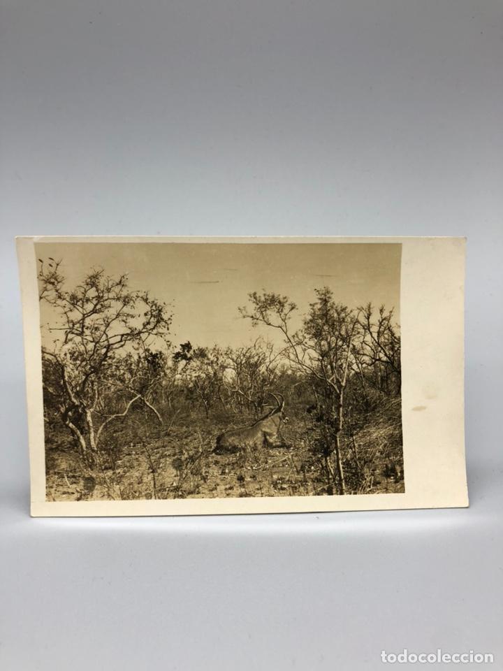 Fotografía antigua: Lote de 108 antiguas fotografías Africa cazadores de animales africanos ,elefantes,marfil... - Foto 108 - 247280240