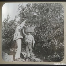 Fotografía antigua: KEYSTONE VIEW. PICKING VALENCIA ORANGES. NEAR VALENCIA. ESPAÑA . 281. Lote 191170885