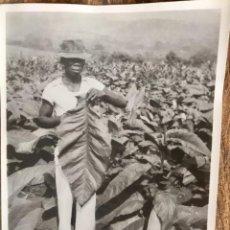 Fotografía antigua: FOTO PLANTACIÓN TABACO QUIZAS SENEGAL MOKA AÑOS 30 40 13,5X8,5CMS. Lote 63255492