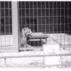 Photographie ancienne: ** AN928 - FOTOGRAFIA - ZOO - TIGRE EN SU JAULA. Lote 97880715
