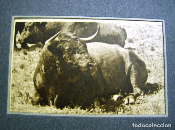 TOROS. TORO DE LIDIA- DESCANSO EN EL CAMPO- FOTOGRAFIA ANTIGUA- (Fotografía - Artística)