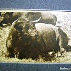 Fotografía antigua: TOROS. TORO DE LIDIA- DESCANSO EN EL CAMPO- FOTOGRAFIA ANTIGUA-. Lote 100068235