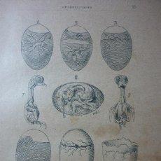 Fotografía antigua: AÑO 1896 COLOMBOFILIA. GRABADO DEL DESARROLLO DEL EMBRION EN LAS PALOMAS. Lote 122147251