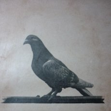 Fotografía antigua: AÑO 1896 COLOMBOFILIA. MACHO GITS. DEL PALOMAR DEL AUTOR.. Lote 122153823