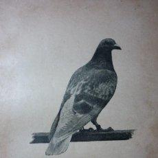 Fotografía antigua: AÑO 1896 COLOMBOFILIA. MACHO PLETINCKX. DEL PALOMAR DEL AUTOR.. Lote 122153963