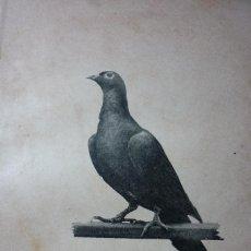 Fotografía antigua: AÑO 1896 COLOMBOFILIA. HEMBRA PLETINCKX. DEL PALOMAR DEL AUTOR.. Lote 122154003