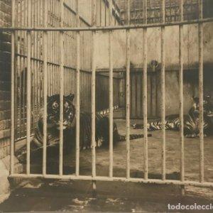 Los tigres del Parque. Barcelona 13,5x12 cm