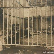 Fotografía antigua: LOS TIGRES DEL PARQUE. BARCELONA 13,5X12 CM. Lote 151924126