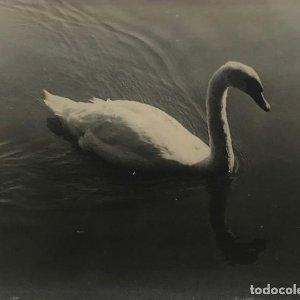 Cisne 23,2x17,7 cm
