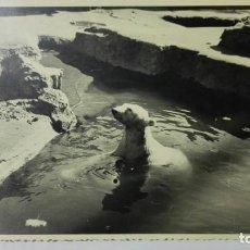 Fotografía antigua: FOTOGRAFIA OSO POLAR, AÑO 1955, MEDIDAS 17,5 X 12 CM. Lote 152382490