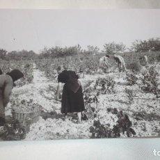 Fotografía antigua: FOTO AÑOS 50/60, VENDIMIANDO. Lote 165765806