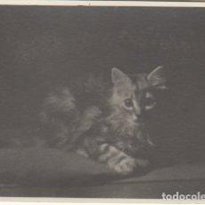Fotografía antigua: FOTOGRAFIA - FOTO ARTISTICA DE UN GATO. Lote 178613487