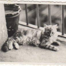 Fotografía antigua: FOTOGRAFIA - FOTO ARTISTICA DE UN GATO. Lote 178613571