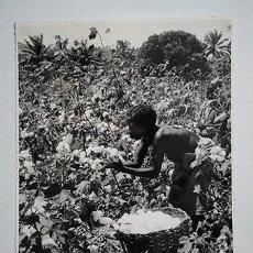 Fotografía antigua: ANGOLA, ÁFRICA COLONIAL PORTUGUESA. RECOLECTA DE ALGODÓN. COPIA VINTAGE 18 X 24 CM. Lote 222378212