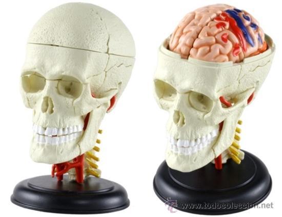 anatomía, cuerpo humano, cráneo y cerebro - Comprar Juegos ...