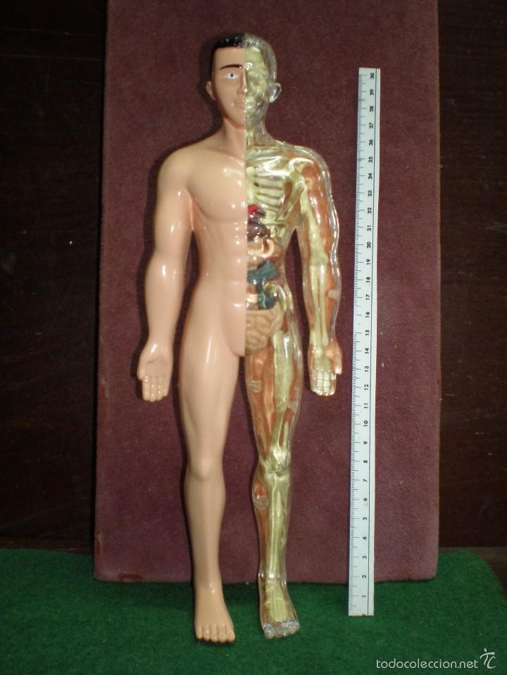 anatomia esqueleto, organos, desmontables, comp - Comprar Juegos ...