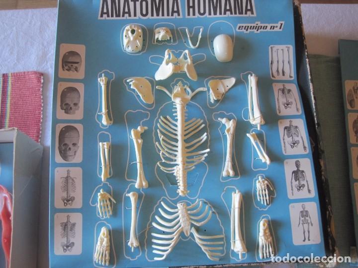 Juegos educativos: JUEGO EDUCATIVO ANATOMIA HUMANA DESMONTABLE (INDUSTRIAS TERMOPLASTICAS SERIMA) - Foto 2 - 68362665
