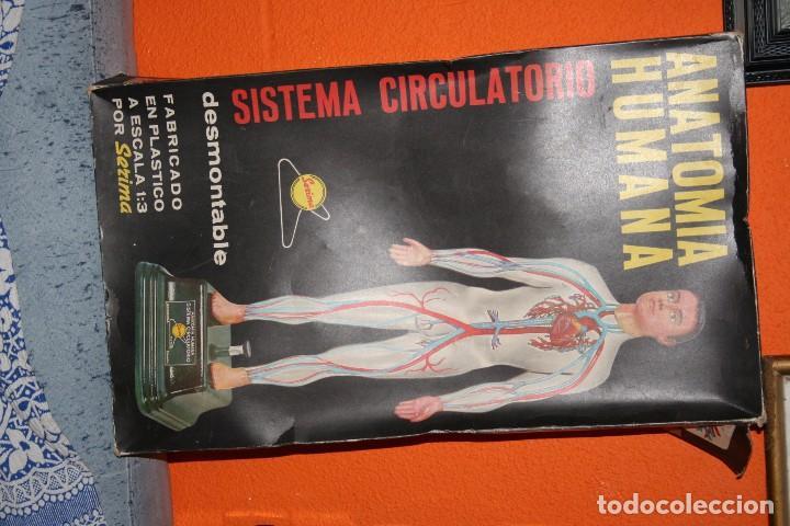 ANATOMIA HUMANA SISTEMA CIRCULATORIO (Juguetes - Juegos - Educativos)