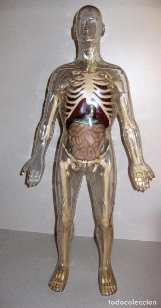 gran figura muñeco anatomia humana esqueleto o - Comprar Juegos ...