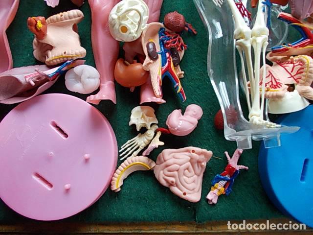 Juegos educativos: Juego anatómico del hombre y la mujer - Foto 2 - 115570499