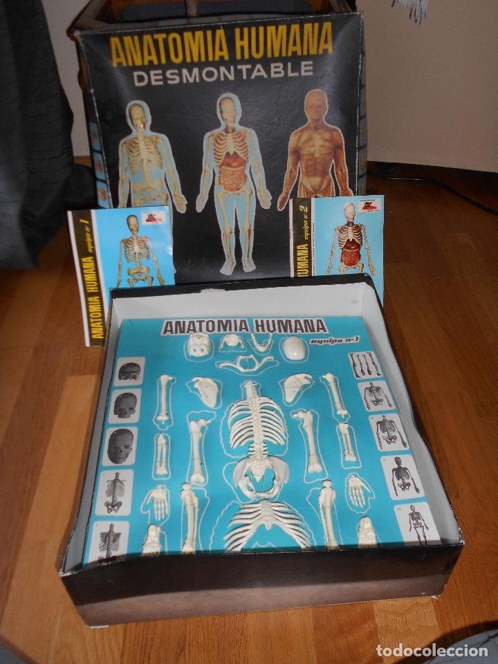 Bonito Anatomía Y Fisiología Juegos En Línea Cresta - Anatomía de ...