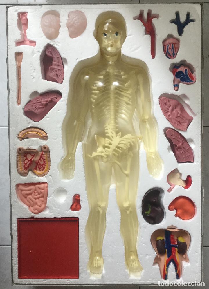 Juegos educativos: JUEGO DE Anatomía Humana. Desmontable y articulada. SERIMA .Años 70 De gran tamaño Escala:1:3 - Foto 2 - 212408807