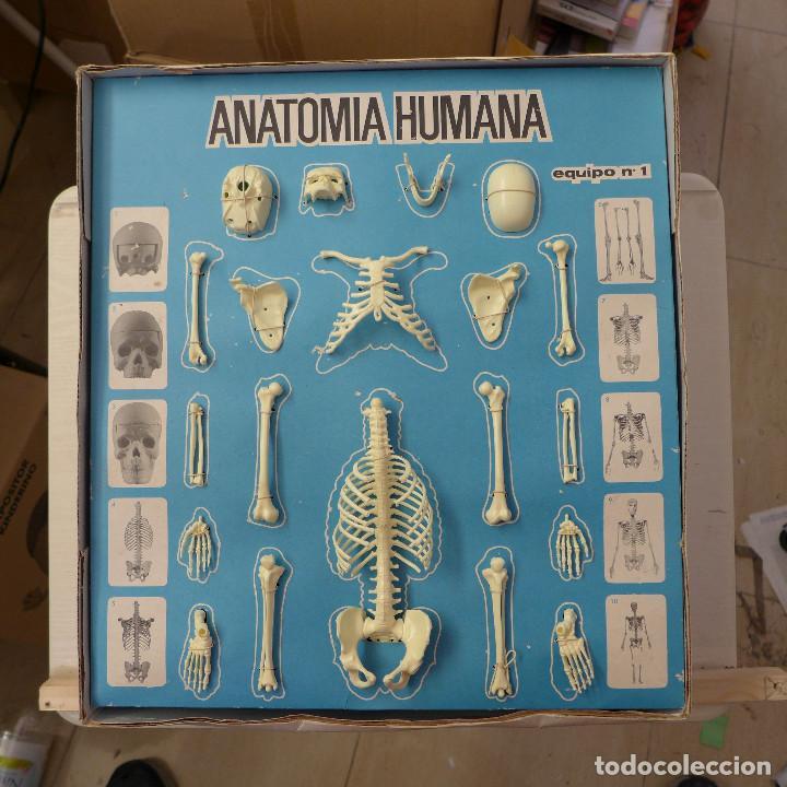 Juegos educativos: ANATOMIA HUMANA DESMONTABLE Y ARTICULADA EQUIPO Nº 4 DE SERIMA NUEVO SIN USAR - Foto 20 - 196662476