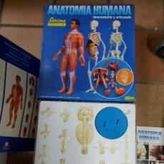 Juegos de mesa: JUEGO ANATOMIA HUMANA DESMONTABLE Y ARTICULADO.. Lote 237616765