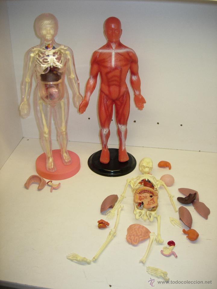 serima anatomia anatomias mujer embarazada y ho - Comprar en ...