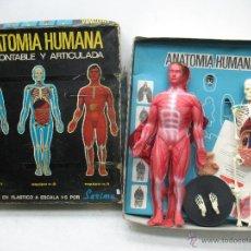 Juguetes antiguos y Juegos de colección: SERIMA - ANATOMÍA HUMANA DESMONTABLE Y ARTICULADA - ESCALA 1:5. Lote 42649808