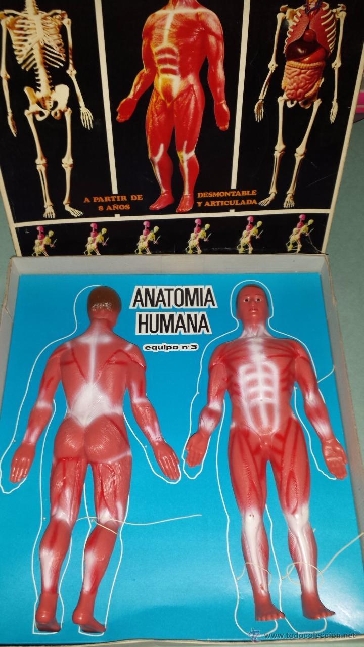 anatomia humana.esquipo nº 3.de serima año 1963 - Comprar en ...