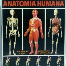 Juguetes antiguos: ANATOMÍA HUMANA SERIMA MÚSCULOS DESMONTABLE Y ARTICULADA NUEVA SIN USO. Lote 119112562