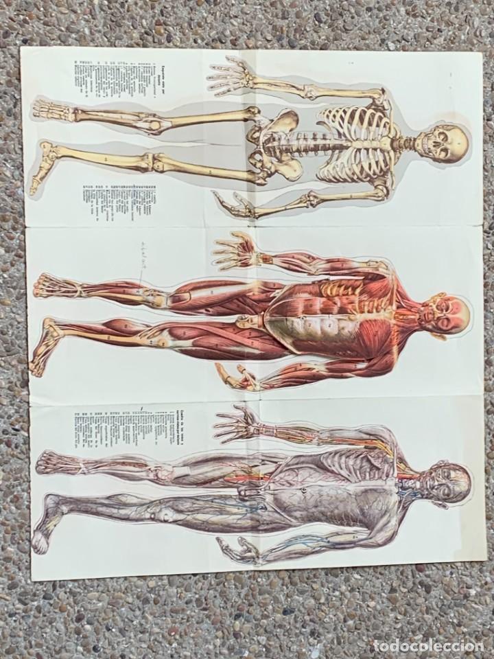 Libros: POSTER ANATOMIA HUMANA HOMBRE DESMONTABLE ESQUELETO MUSCULATURA ANOTACIONES PPIO S XX 43X48CMS - Foto 2 - 281230638