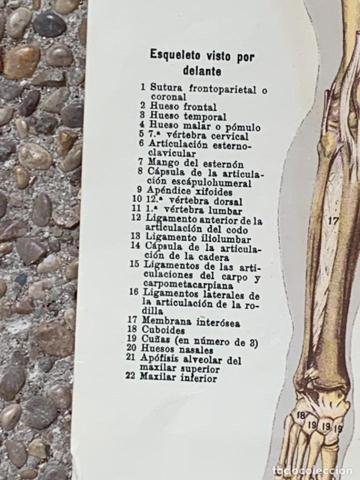 Libros: POSTER ANATOMIA HUMANA HOMBRE DESMONTABLE ESQUELETO MUSCULATURA ANOTACIONES PPIO S XX 43X48CMS - Foto 6 - 281230638