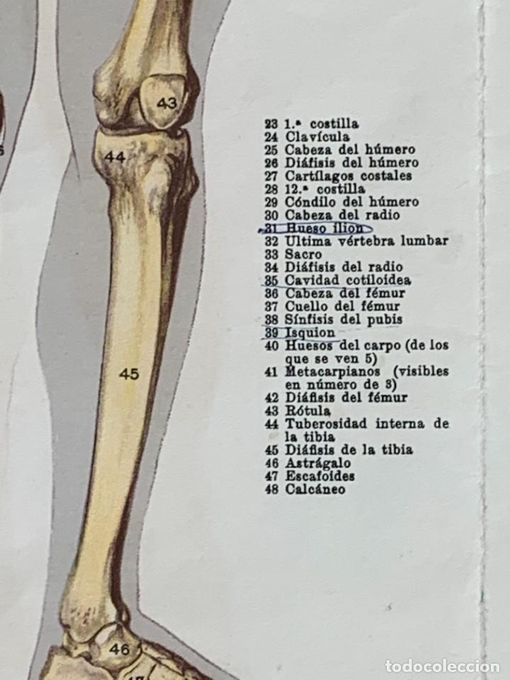 Libros: POSTER ANATOMIA HUMANA HOMBRE DESMONTABLE ESQUELETO MUSCULATURA ANOTACIONES PPIO S XX 43X48CMS - Foto 7 - 281230638