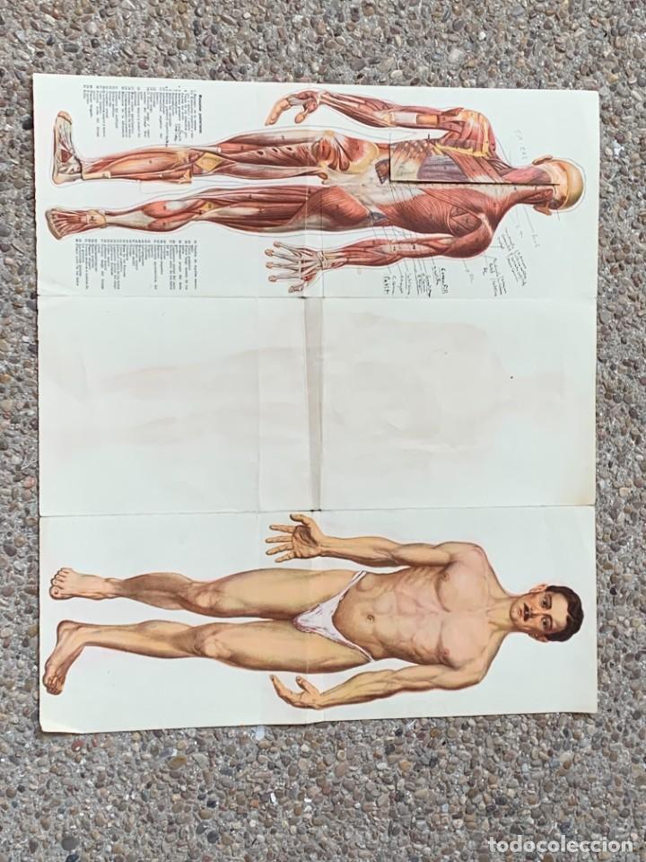 Libros: POSTER ANATOMIA HUMANA HOMBRE DESMONTABLE ESQUELETO MUSCULATURA ANOTACIONES PPIO S XX 43X48CMS - Foto 12 - 281230638