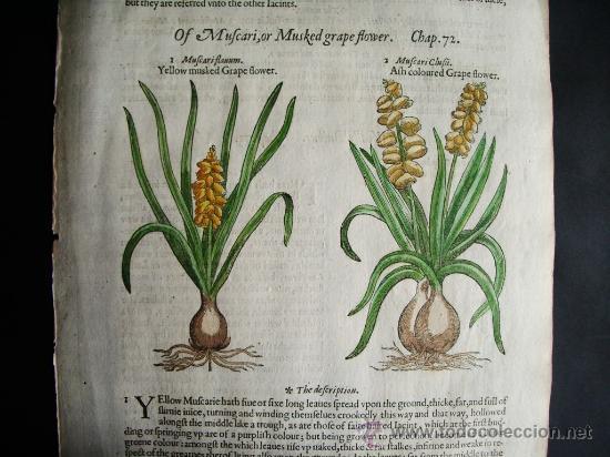 1597-JACINTO.PLANTAS Y FLORES.GERRARD. 3 GRABADOS.PRIMERA EDICIÓN.GRABADO ORIGINAL.BIOLOGÍA (Libros Antiguos, Raros y Curiosos - Ciencias, Manuales y Oficios - Bilogía y Botánica)