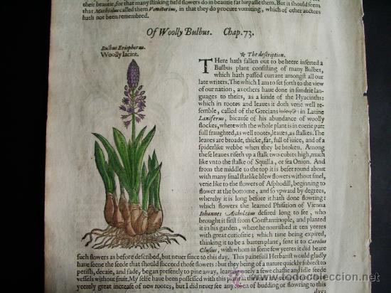 Libros antiguos: 1597-JACINTO.PLANTAS Y FLORES.GERRARD. 3 GRABADOS.PRIMERA EDICIÓN.GRABADO ORIGINAL.BIOLOGÍA - Foto 4 - 31296611