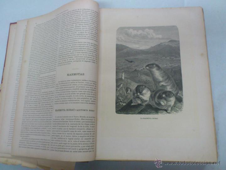 Libros antiguos: LA VIDA DE LOS ANIMALES. A.E.BREHM. TOMO II. MAMIFEROS. SEGUNDA EDICION ESPAÑOLA. FINALES S.XIX. - Foto 5 - 40421322